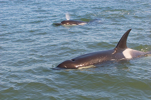 Orca_mother-calf-(C)_Erikogan_flickr.jpg