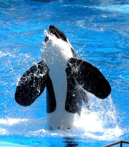 Sea World Orlando-killer whale -Tilikum(C) Milan_boers_flickr.jpg
