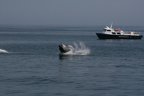 Whale-watching-Humpback (C) Paulcjones_Flickr.jpg