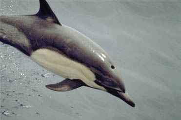 common_dolphin-noaa.jpg