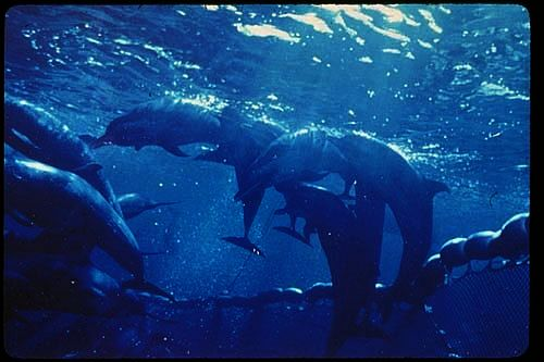 dolphins-net-Photo_Credit_(C)US_National_Oceanic_and_Atmospheric_Administration.jpg