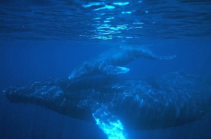 humpback_calf-Photo_Credit_(C)US_National_Oceanic_and_Atmospheric_Administration.jpg