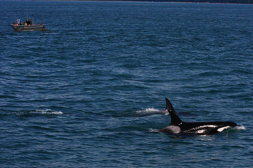 orca_watching_(C)_Rennett_Stowe-Flickr.jpg