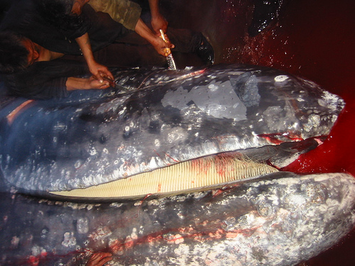 whaling Neshkan grey whale 02 (C) kentish Plover_Flickr.jpg