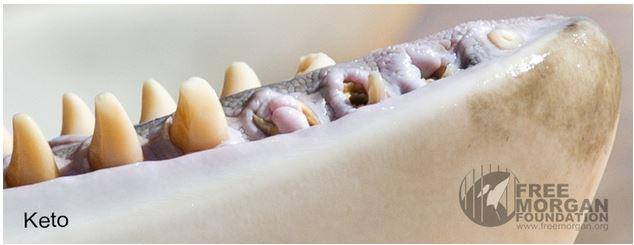 À 20 ans, Keto est l'orque la plus âgée de SeaWorld. Elle est détenue par le Loro Parque, un delphinarium de Tenerife - l'une des sept îles des Canaries en Espagne. Cette photo prise le 20 avril 2016, démontre bien l'état catastrophique de la dentition des orques détenues en captivité.