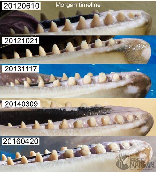 Voici l'évolution de la dentition de Morgan durant sa période de captivité au parc de Tenerife.