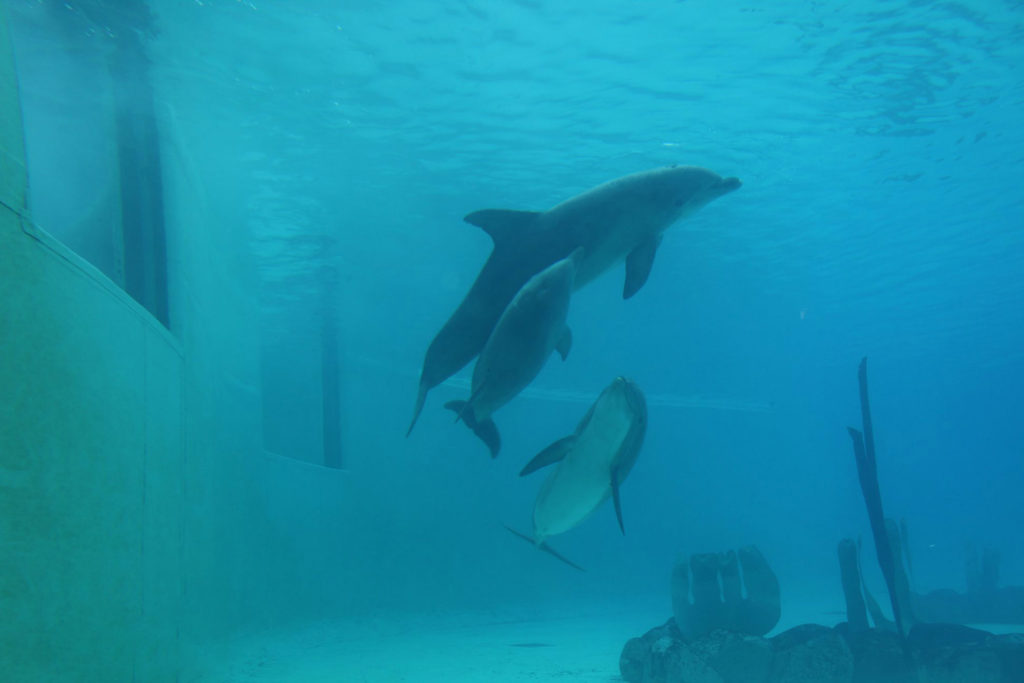 Réseau Cétacés – Loire Atlantique : le bébé dauphin né à